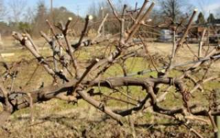 Как омолодить старый куст винограда